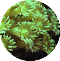 Large Polyps Stony (LPS) Corals